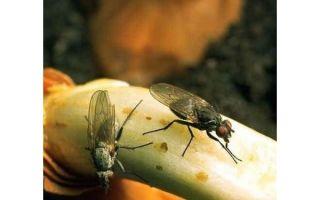 Луковая муха на грядке — как с ней бороться?