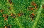 Биологические методы борьбы с плодовым клещом