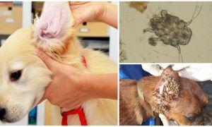 Симптомы и лечение ушного клеща у собаки