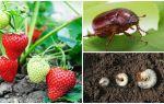 Личинки майского жука на клубнике — как с ними бороться?