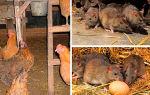 Как вывести крыс в курятнике?
