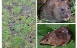 Земляные крысы на даче и огороде — как с ними бороться?
