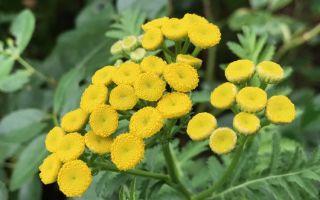 Пижма — как растение оберегает ваш сад