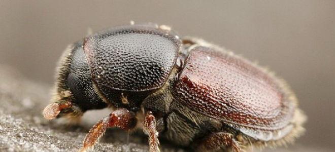 Виды и методы борьбы с жуком-заболонником
