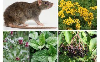 Бузина против мышей и крыс