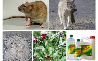 Мыши в частном доме — как с ними бороться народными средствами?