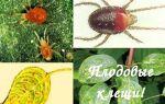 В чем вред от плодового клеща и как с ним бороться?