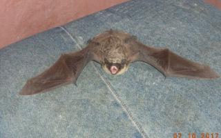 Летучая мышь в квартире — как ее поймать?