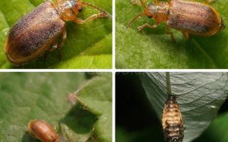 Какие средства используют для борьбы с земляничным листоедом?
