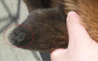 Что делать если мухи кусают уши собаке?