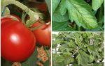 Чем обработать помидоры от тли?