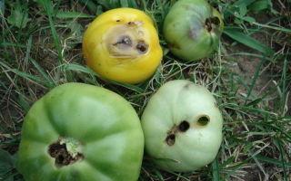 Как избавиться от подур в земле в саду и теплице?