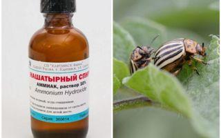 Как избавиться от колорадского жука с помощью нашатырного спирта?