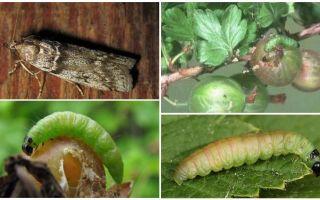 Как избавиться от корневого червеца на растениях?