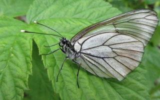 Как бороться с бабочкой белянкой?