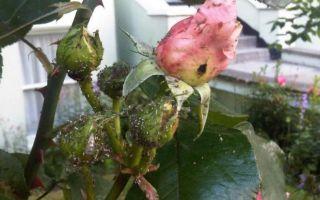 Тля на розах — чем их можно обработать?