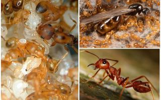 Как избавиться от фараоновых муравьев?
