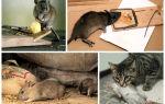 Крысы в квартире — как от них избавиться?