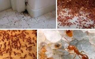Домашние рыжие муравьи — чего они боятся?
