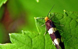 Что за вредитель и как бороться с малинной почковой молью