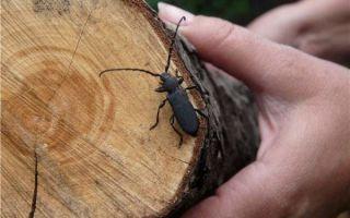 Жук-короед в деревянном доме — как с ним бороться?