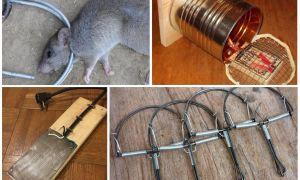 Лучшая приманка для крыс — что положить в крысоловку?