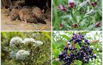 Мыши и крысы — какие травы могут их отпугнуть?