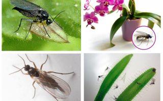 Методы борьбы с вредителем цветов — грибным комариком