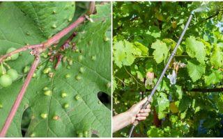 Как бороться с листовым виноградным клещом?